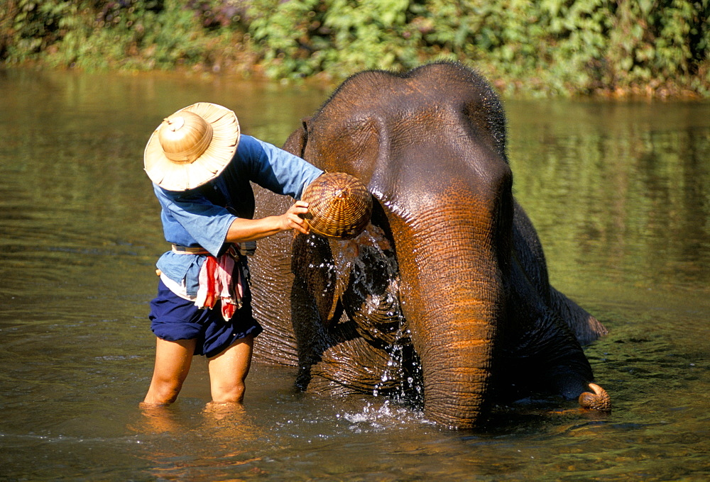Mahout washing his elephants in the river, Chiang Mai, northern Thailand, Southeast Asia, Asia