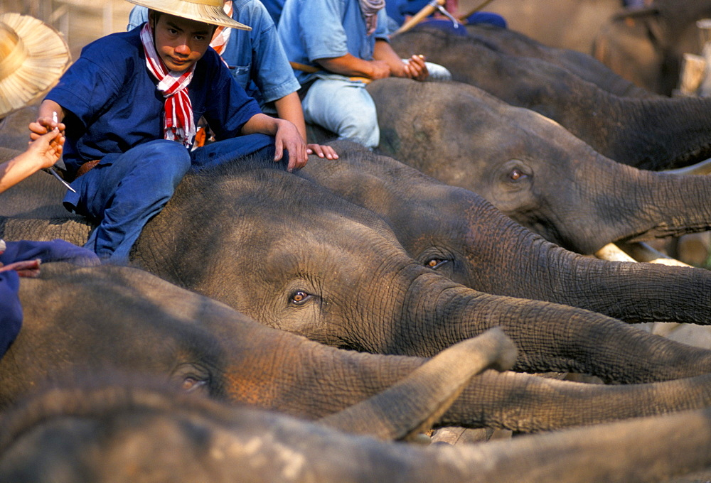 A group of elephants and their mahouts, Chiang Mai, northern Thailand, Southeast Asia, Asia