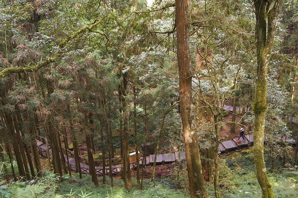 Walkway in cedar forest, Alishan National Forest recreation area, Chiayi County, Taiwan, Asia