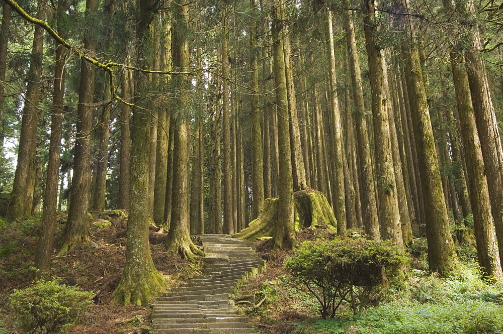 Cedar forest, Alishan National Forest recreation area, Chiayi County, Taiwan, Asia