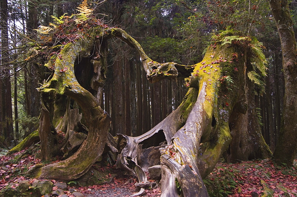Giant tree trunk in cedar forest, Alishan National Forest recreation area, Chiayi County, Taiwan, Asia