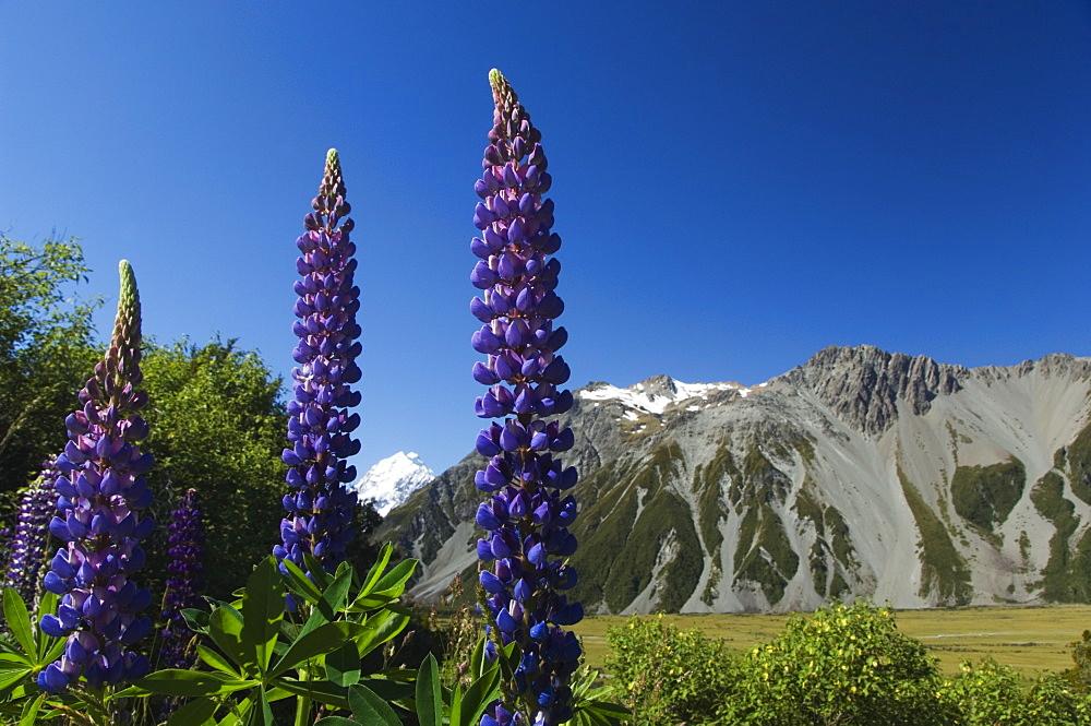 Lupins in flower below Aoraki (Mount Cook), 3755m, the highest peak in New Zealand, Te Wahipounamu UNESCO World Heritage Site, Aoraki (Mount Cook) National Park, Southern Alps, Mackenzie Country, South Island, New Zealand, Pacific