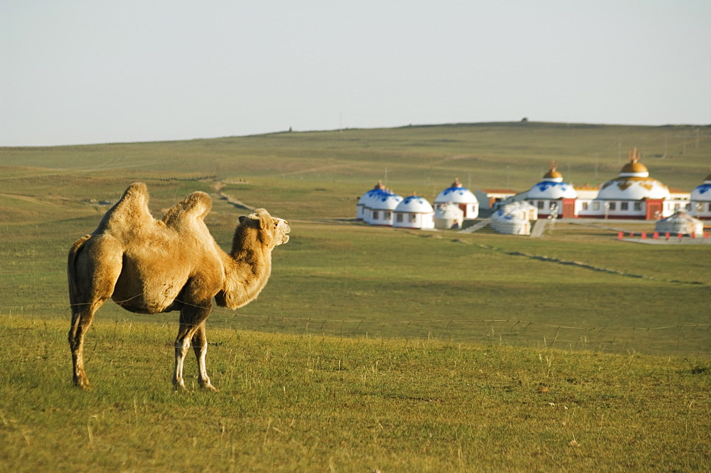 A camel with nomad yurt tents in the distance, Xilamuren grasslands, Inner Mongolia province, China, Asia - 733-2553