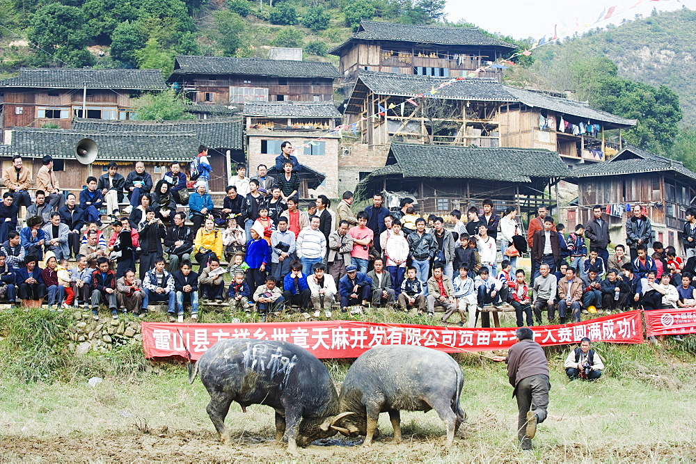 New Year bull fighting festival in the Miao village of Xijiang, Guizhou Province, China, Asia