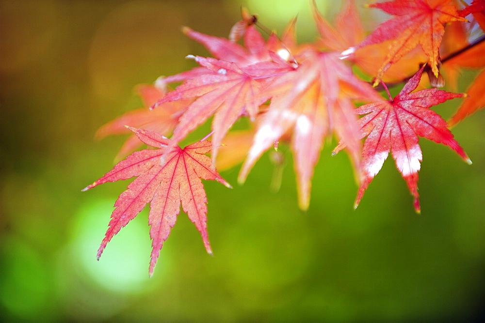 Autumn maple leaves, Sagano area, Kyoto, Japan, Asia - 733-4072
