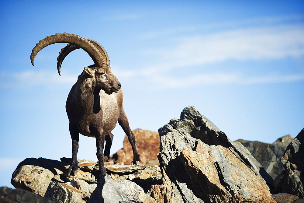 Ibex (Capra ibex), on lower slopes of Mont Blanc, Chamonix, French Alps, France, Europe