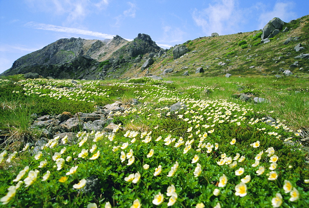 Mountain flowers, Hakusan National Park, Japan