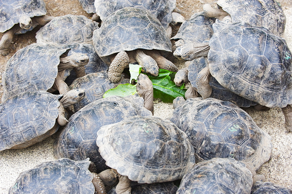 Geochelone elephantopus vandenburghi, Giant Tortoise Breeding Centre, Puerto Villamil, Isla Isabela, Galapagos Islands, UNESCO World Heritage Site, Ecuador, South America