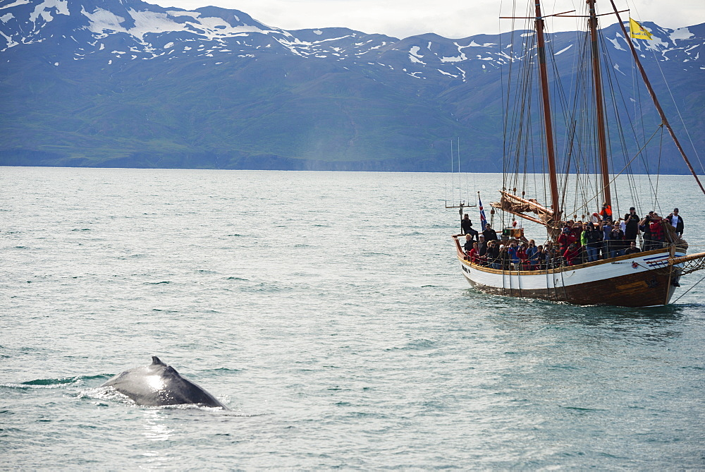 Whale watching tour, Husavik, Northern Region, Iceland, Polar Regions