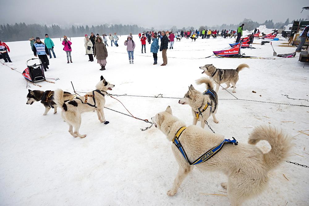 Huskies at an international dog sled race, La Grande Odyssee Savoie Mont Blanc, Haute Savoie, France, Europe