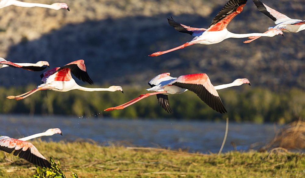 Greater flamingo (Phoenicopterus roseus), St. Augustine, southern area, Madagascar, Africa