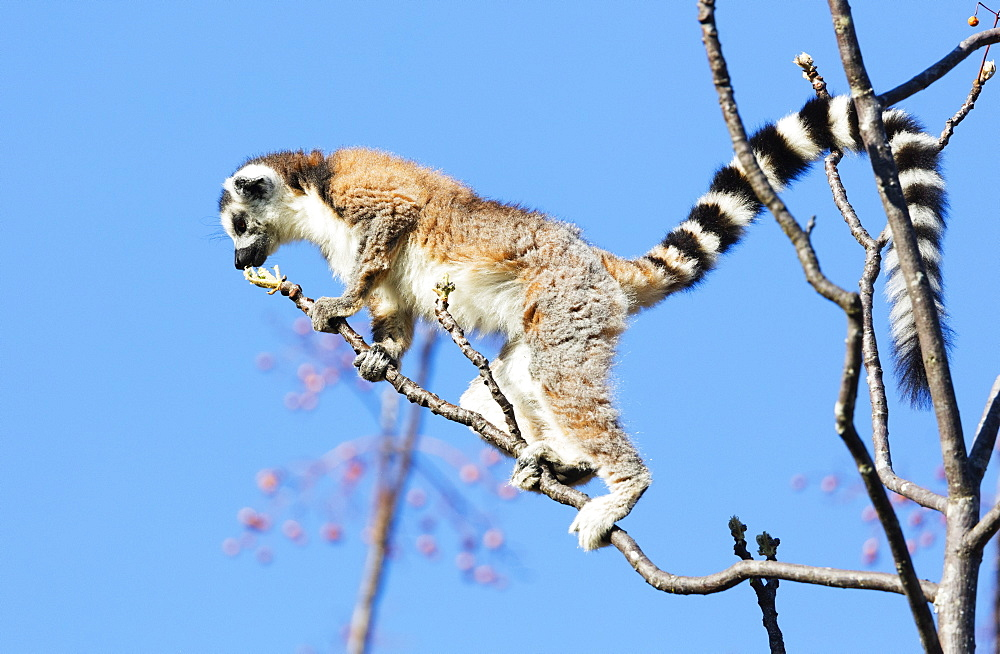 Ring tailed lemurs (Lemur catta), Anja Reserve, Ambalavao, central area, Madagascar, Africa