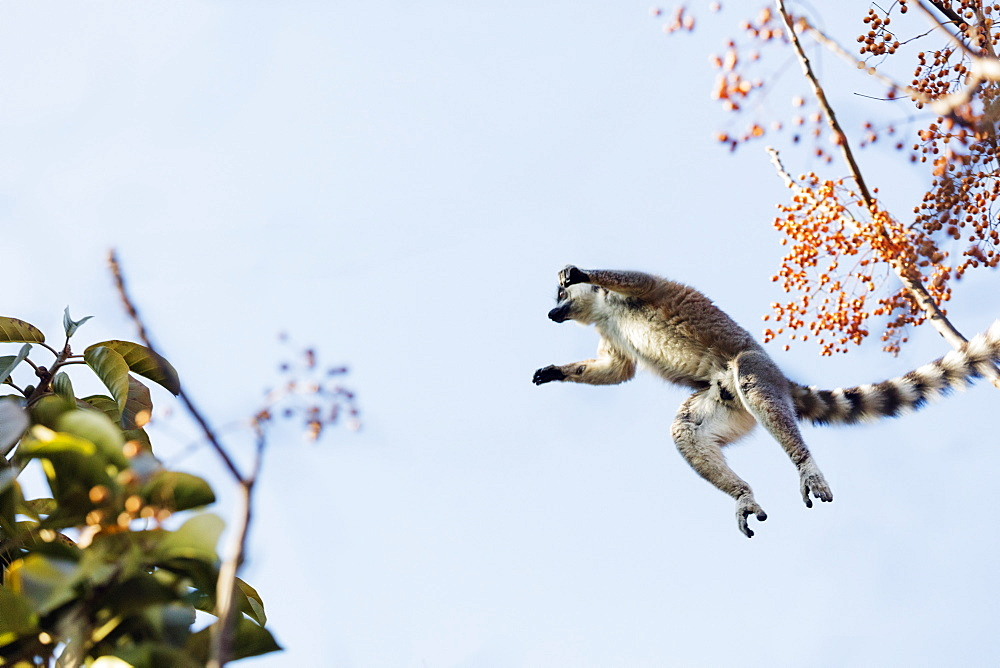 Ring tailed lemurs (Lemur catta) jumping in the trees, Anja Reserve, Ambalavao, central area, Madagascar, Africa