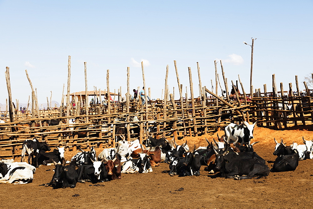 Zebu cattle market, Ambalavao, central area, Madagascar, Africa