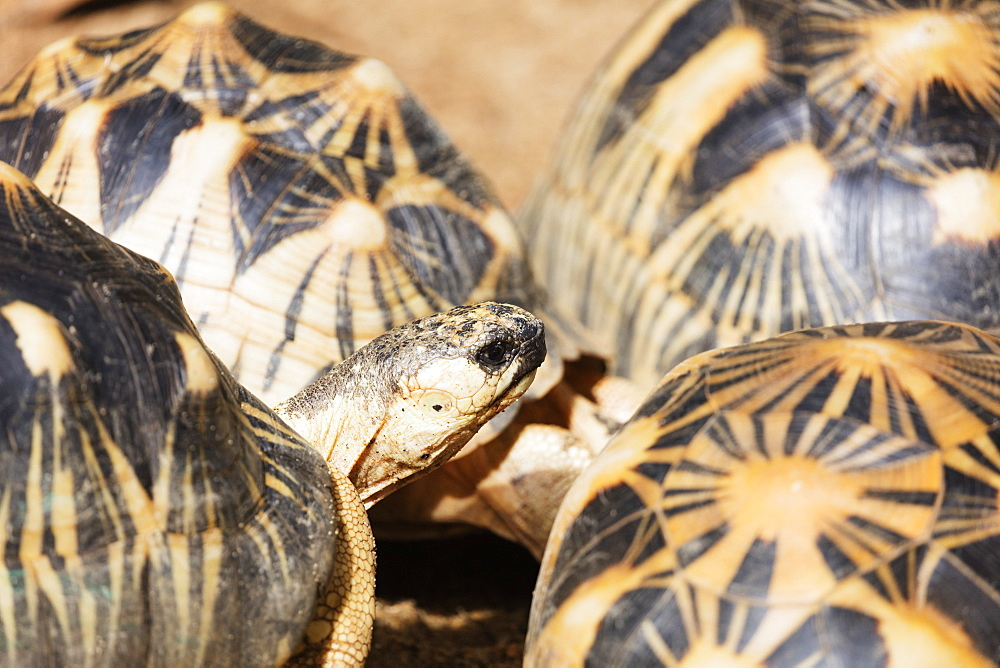 Radiated tortoise, critically endangered in the wild, Ivoloina Zoological Park, Tamatave, Madagascar, Africa