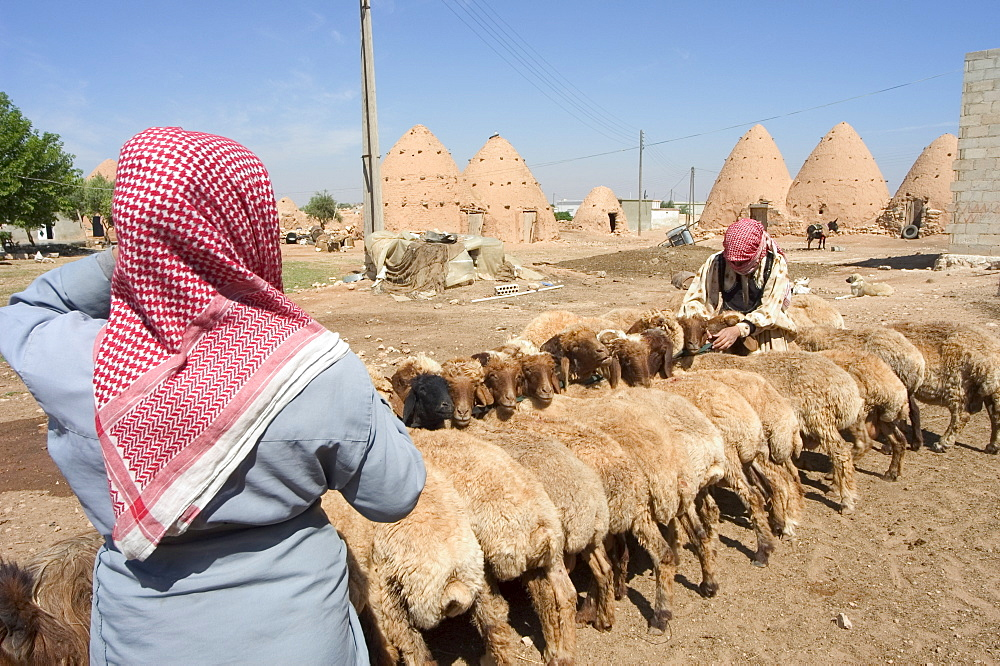 Sheep being milked in front of beehive houses built of brick and mud, Srouj village, Syria, Middle East
