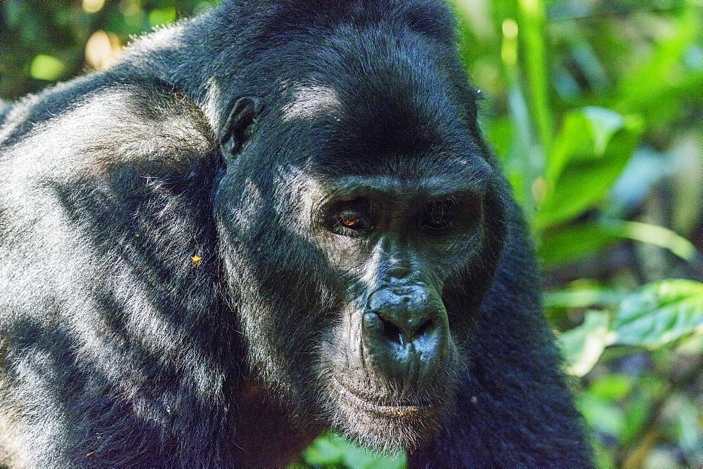 Africa, Uganda, Buhoma, Bwindi Impenetrable Forest National Park, Unesco World Heritage site, gorilla trekking, Rushegura Group, Kabukojo, dominant silver back gorilla (Gorilla gorilla beringei)