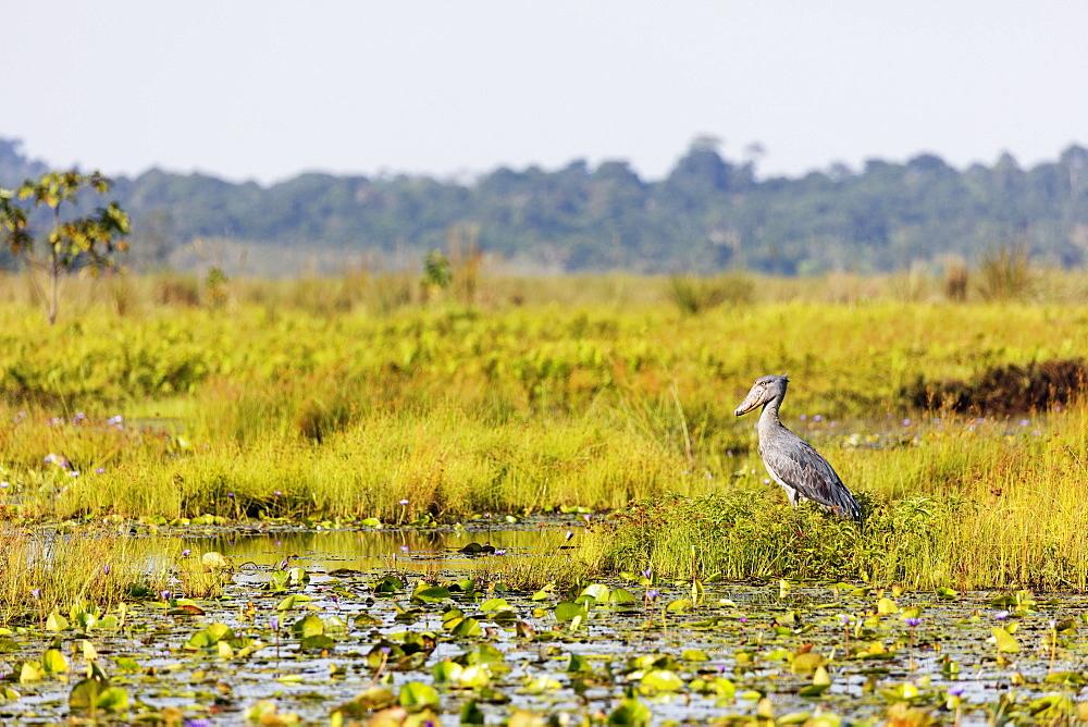 Shoebill (Balaeniceps rex). Mabamba Swamp, Uganda, Africa