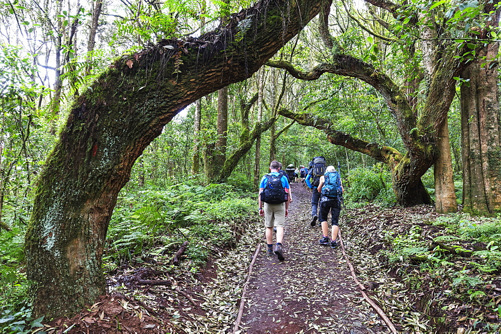 Hikers in the rain forest, Kilimanjaro National Park, UNESCO World Heritage Site, Tanzania, East Africa, Africa
