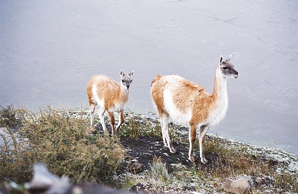 Vicuna mother and young, Torres del Paine, Chile, South America - 734-130