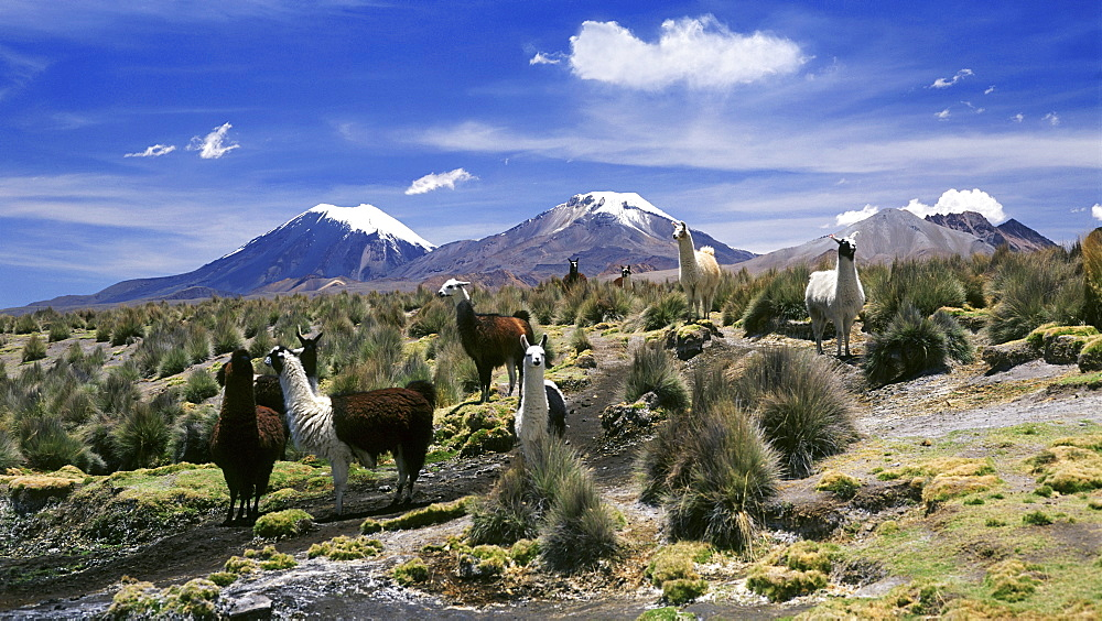 Llamas grazing in Sajama National Park with The Twins, the volcanoes of Parinacota and Pomerata in the background, Sajama, Bolivia, South America - 734-143