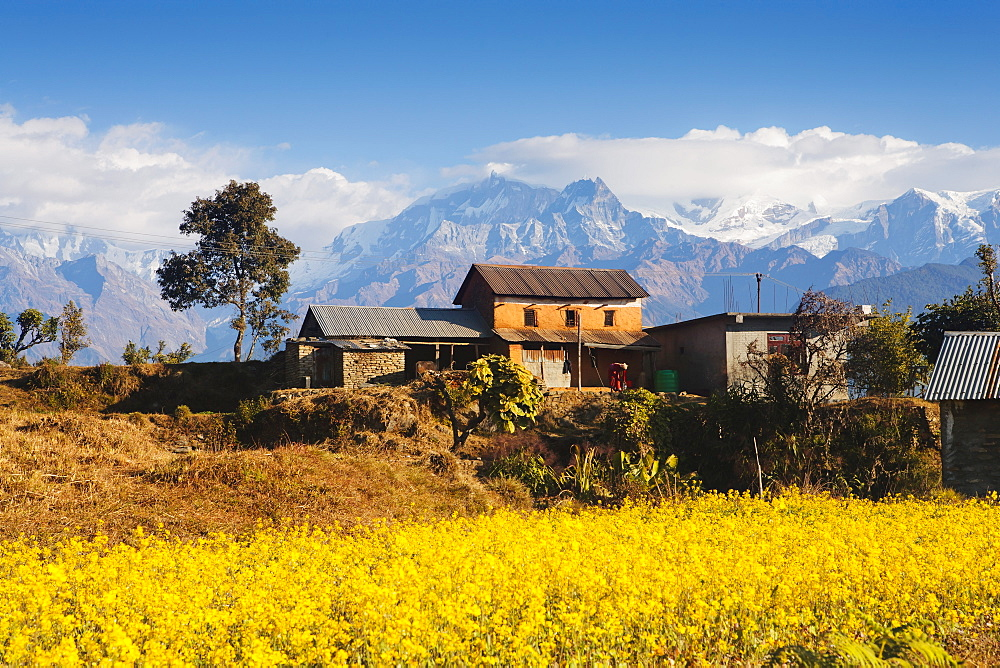 Mustard fields with the Annapurna Range of the Himalayas in the background, Gandaki, Nepal, Asia - 734-168