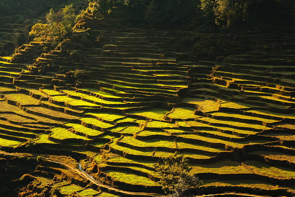 Terraced rice fields, near Pokhara, Gandak, Nepal, Asia - 734-175