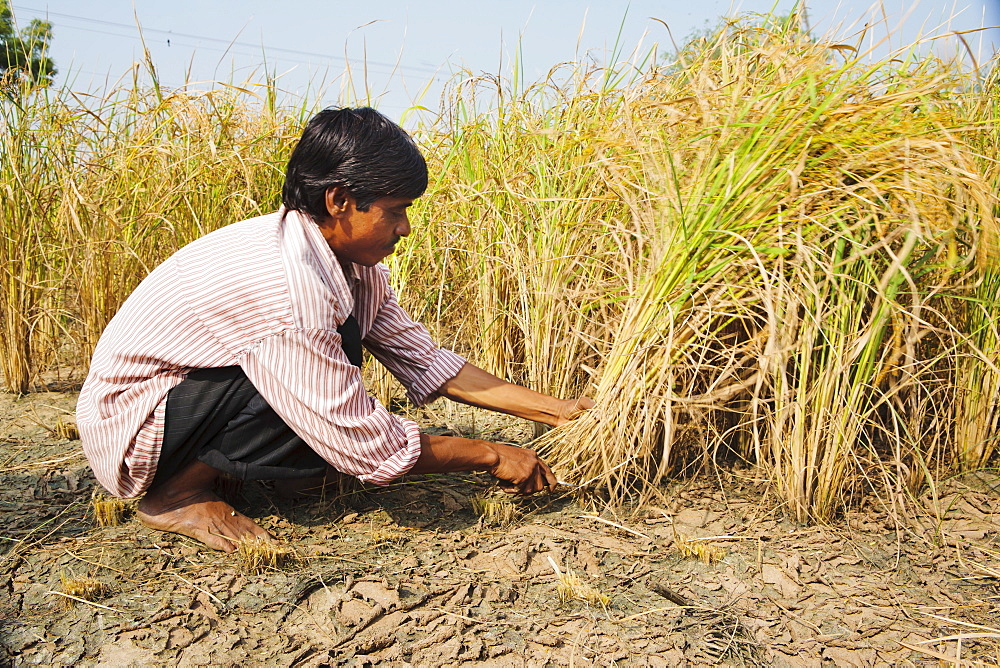 Rice being harvested by hand, Sajpur Ras, Gujarat, India, Asia - 734-212