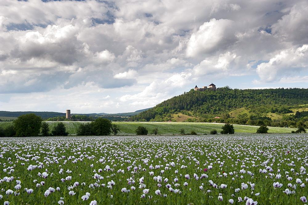 Zebrak and Tocnik castles from across a poppy field, Tocnik, Stredocesko, Czech Republic, Europe - 737-617