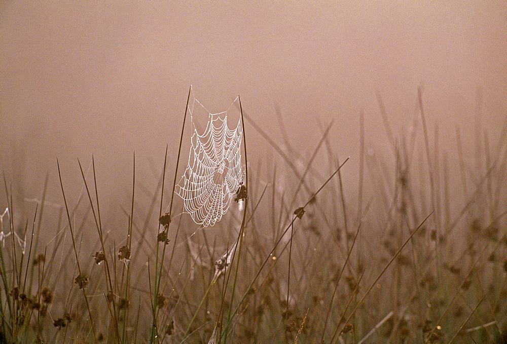 Spiders web covered in dew on autumn morning in September, Kent, England, United Kingdom, Europe - 738-101