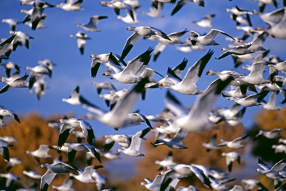 Snow (Anser caerulescens) and Ross's geese, large flock in winter, at Bosque Del Apache, New Mexico, United States of America, North America - 738-102