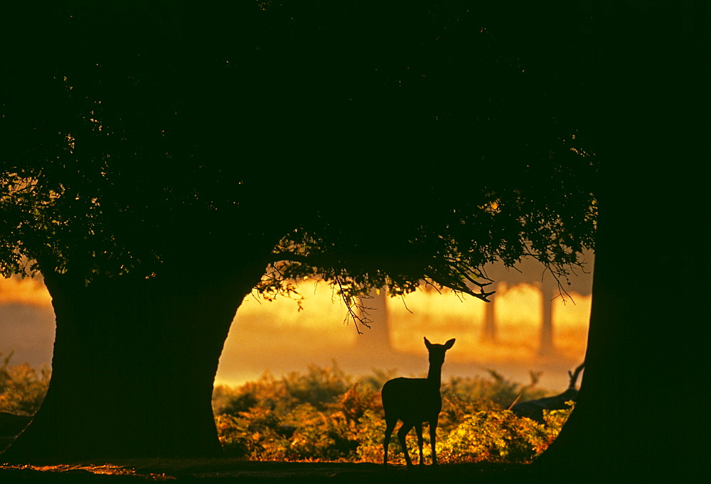 Fallow deer (Dama dama), doe silhouetted along forest track at dawn in autumn, New Forest, Hampshire, England, United Kingdom, Europe