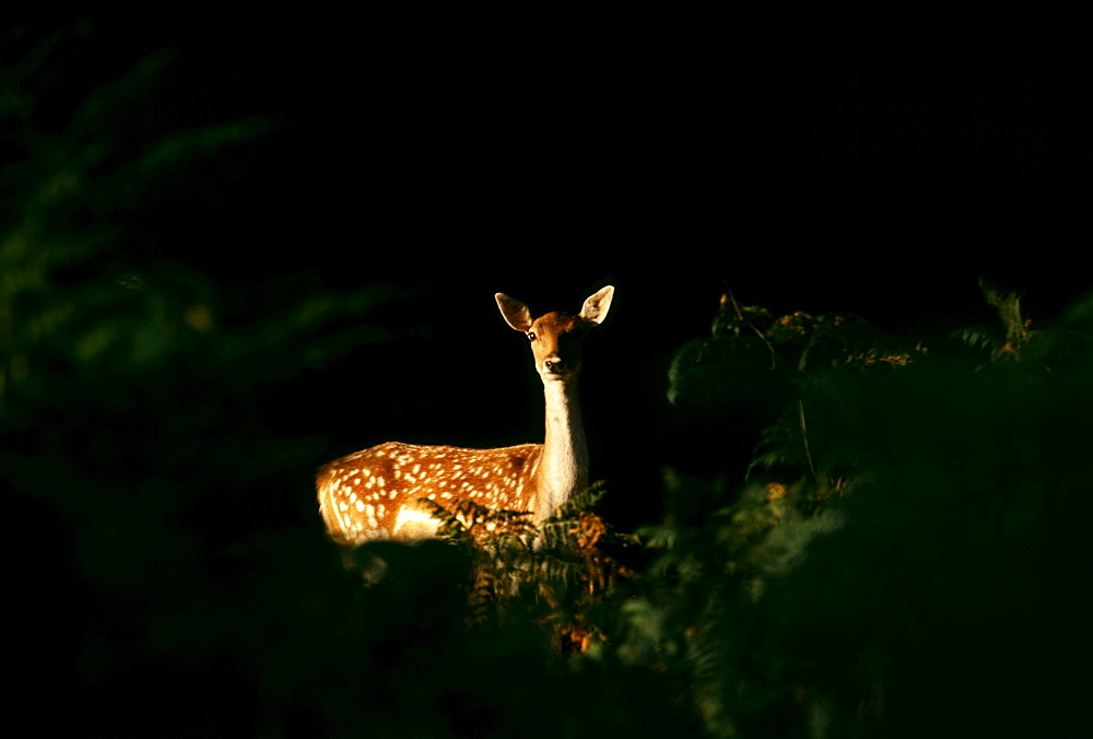 Fallow deer (Dama dama), doe peering from forest clearing in the autumn, New Forest, Hampshire, England, United Kingdom, Europe