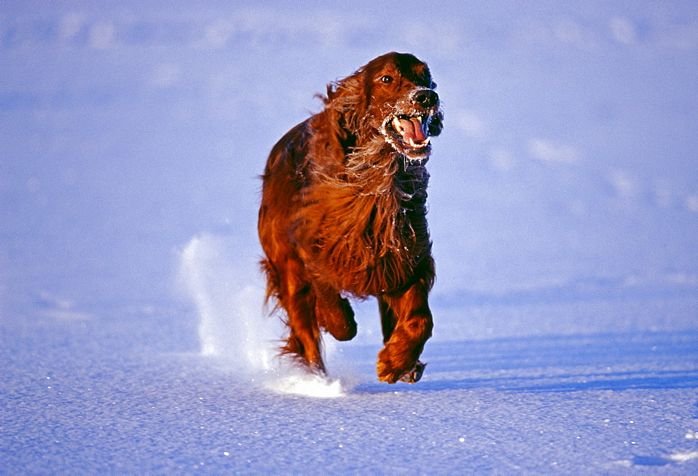 Red setter running across frozen lake, Finland, Scandinavia, Europe