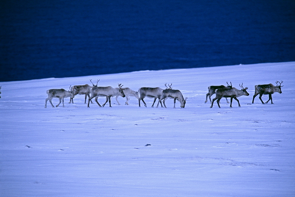 Reindeer (Rangifer tarandus), walking across the frozen tundra, Arctic Norway, Norway, Scandinavia, Europe