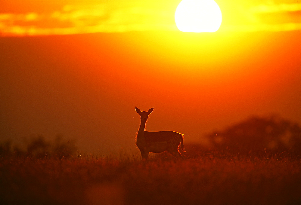 Fallow deer (Dama dama), doe at sunset, New Forest, Hampshire, England, United Kingdom, Europe