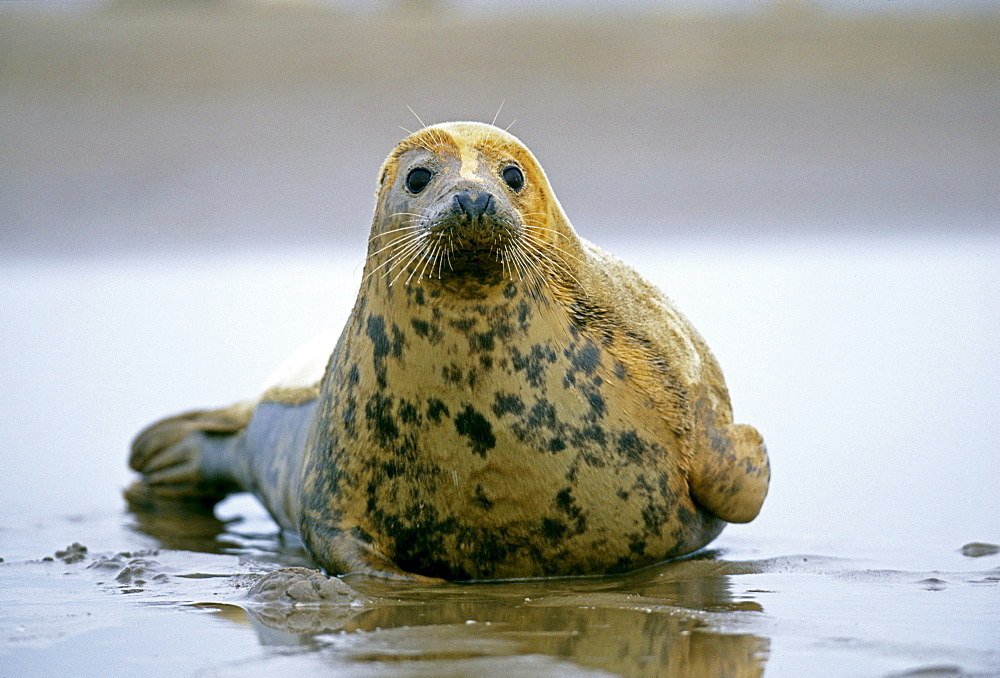 Common seal (Phoca vitulina), in winter, Lincolnshire, England, United Kingdom, Europe