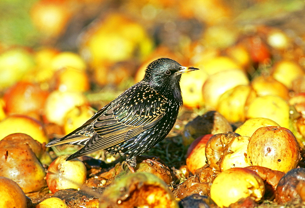 Starling (Sturnus vulgaris), feasting on fallen apples in orchard, Kent, England, United Kingdom, Europe