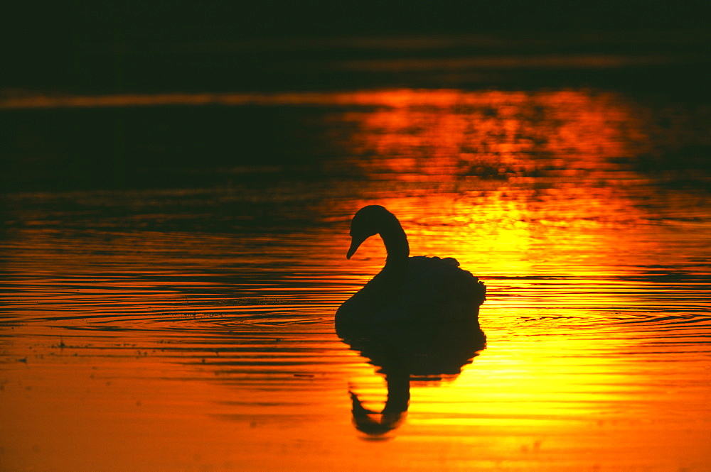 Mute swan (Cygnus olor), silhouetted at dawn, Richmond Park, London, England, United Kingdom, Europe