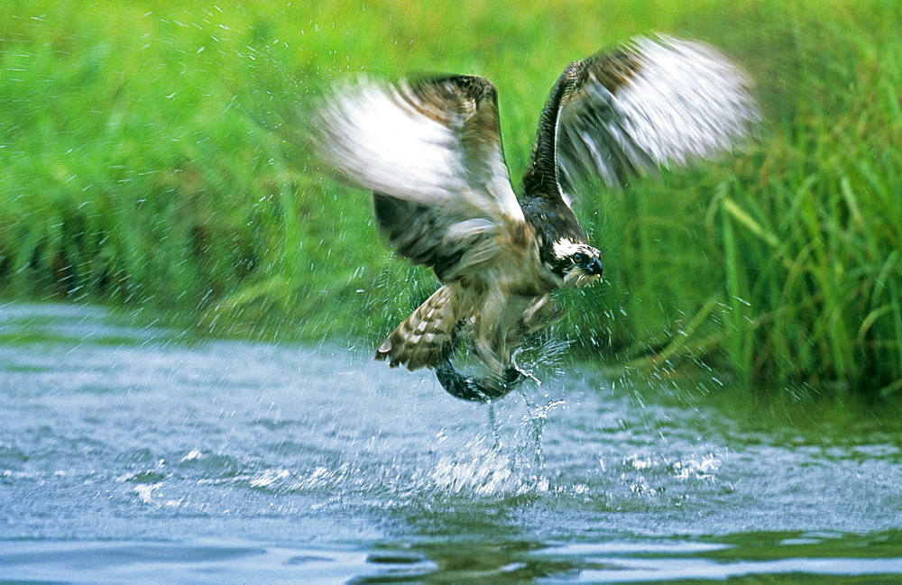 Osprey (Pandion haliaeetus), exploding out of water with a trout in summer, Finland, Scandinavia, Europe