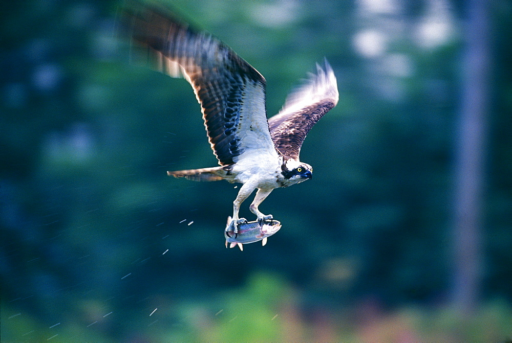 Osprey (Pandion haliaeetus), with a trout, in summer, Speyside, Scotland, United Kingdom, Europe