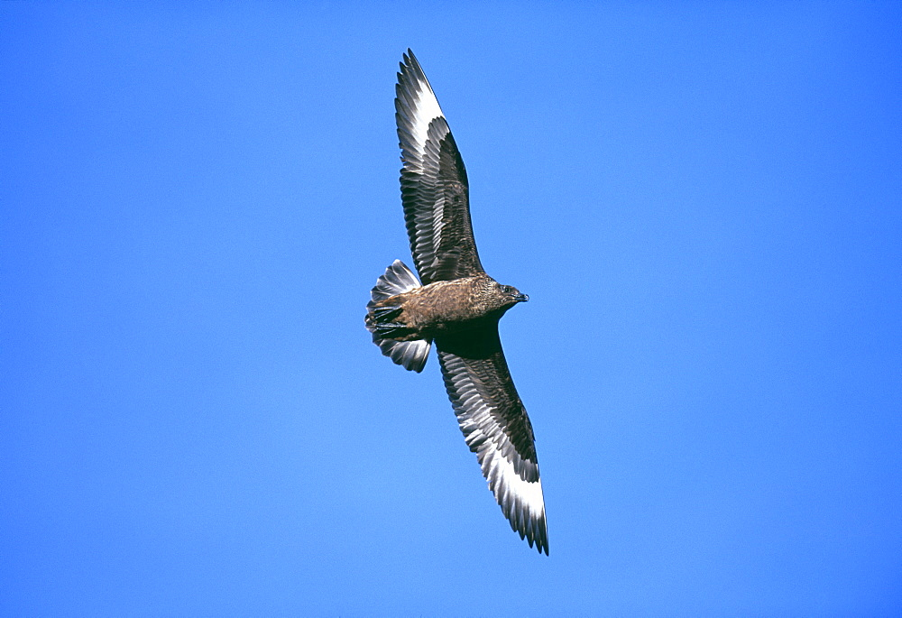 Great skua (Stercorarius skua), in blue summer sky, Hermaness National Nature Reserve, Unst, Shetland, Scotland, United Kingdom, Europe