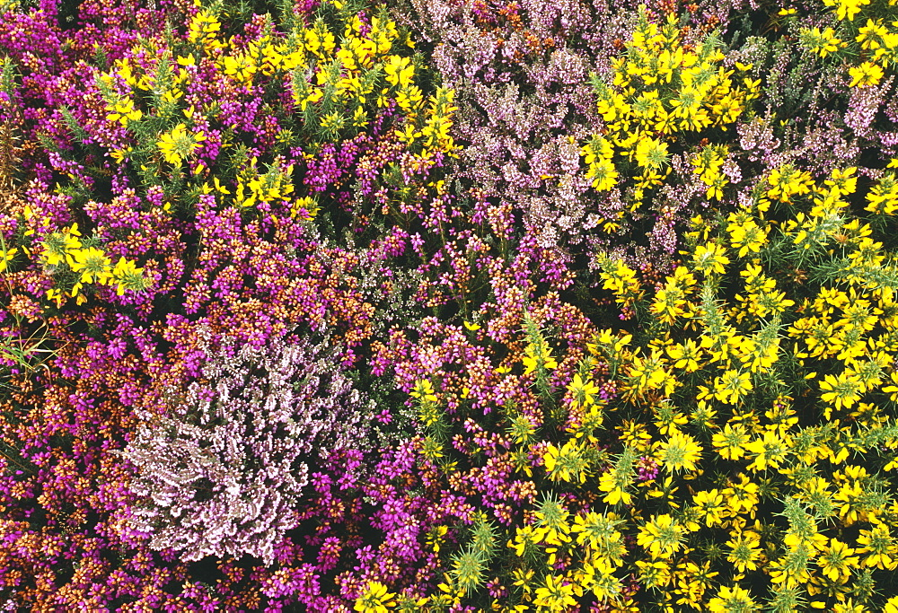 Heather, ling and gorse in summer, Dunwich Heath, Suffolk, England, United Kingdom, Europe