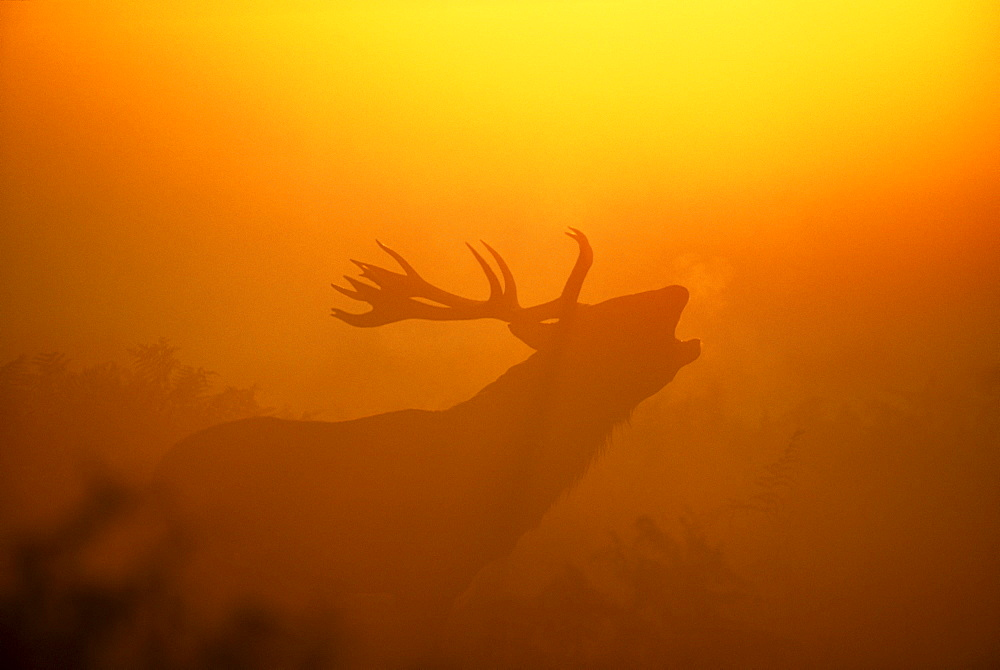 Red deer (Cervus elaphus), stag calling at dawn, autumn, United Kingdom, Europe