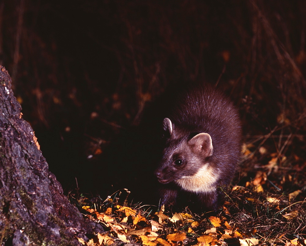 Pine marten (Martes martes) in autumn, Speyside, Scotland, United Kingdom, Europe