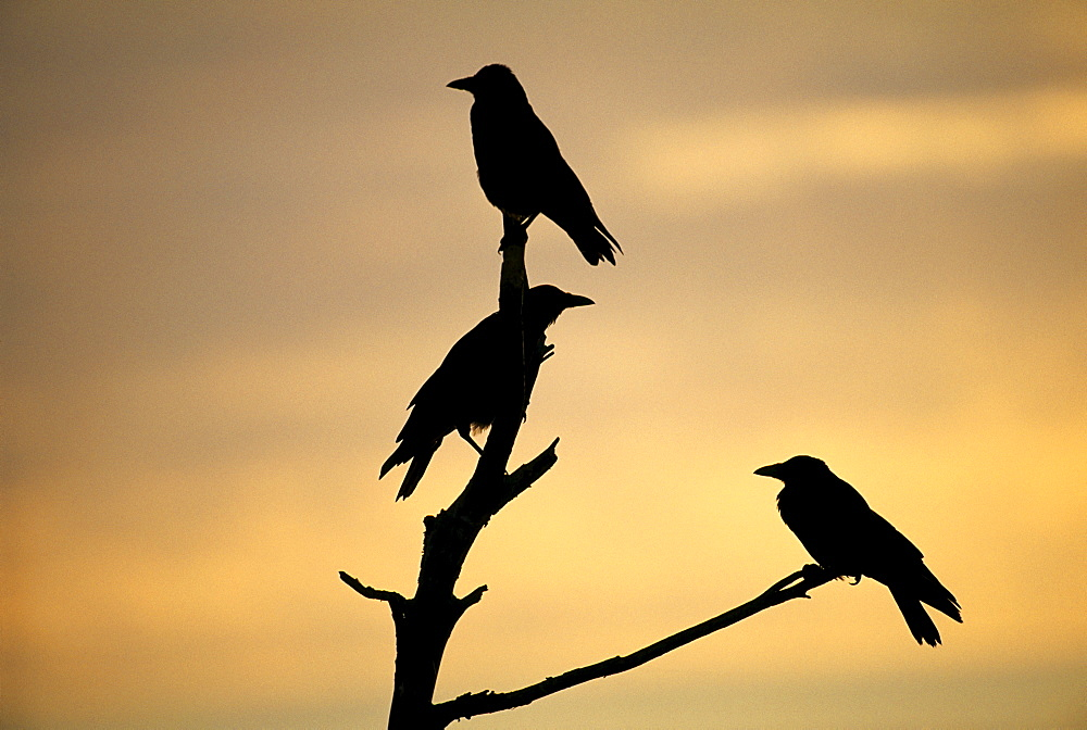Carrion crows (Corvus corone), silhouetted at dawn, Kent, England, United Kingdom, Europe - 738-173