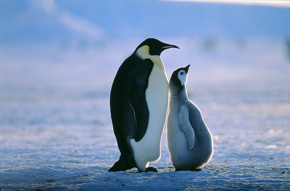 Emperor penguin (Aptenodytes forsteri), with chick, Weddell Sea, Antarctica, Polar Regions