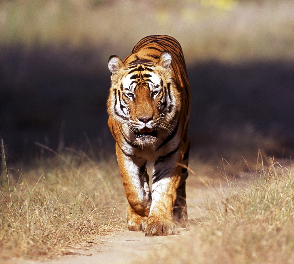 Male Bengal tiger (Panthera tigris), Bandavgarh National Park, Madhya Pradesh, India, Asia