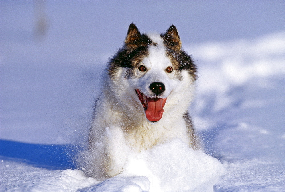 Husky dog, running through snow, Alaska, United States of America, North America