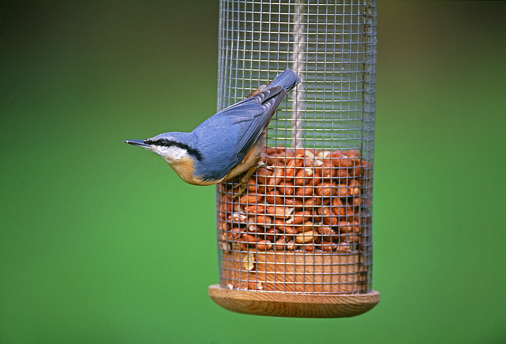 Nuthatch (Sitta europea), on garden nut feeder in winter, Kent, England, United Kingdom, Europe